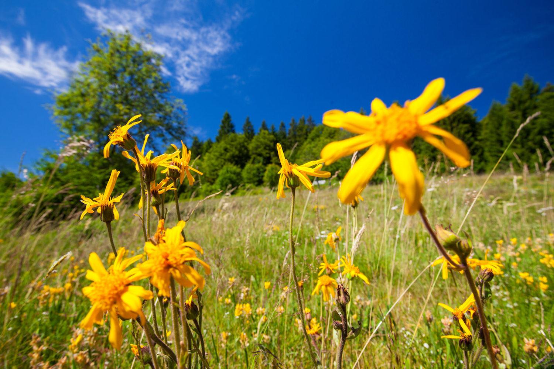 Biosphärengebiet Schwarzwald Blumen