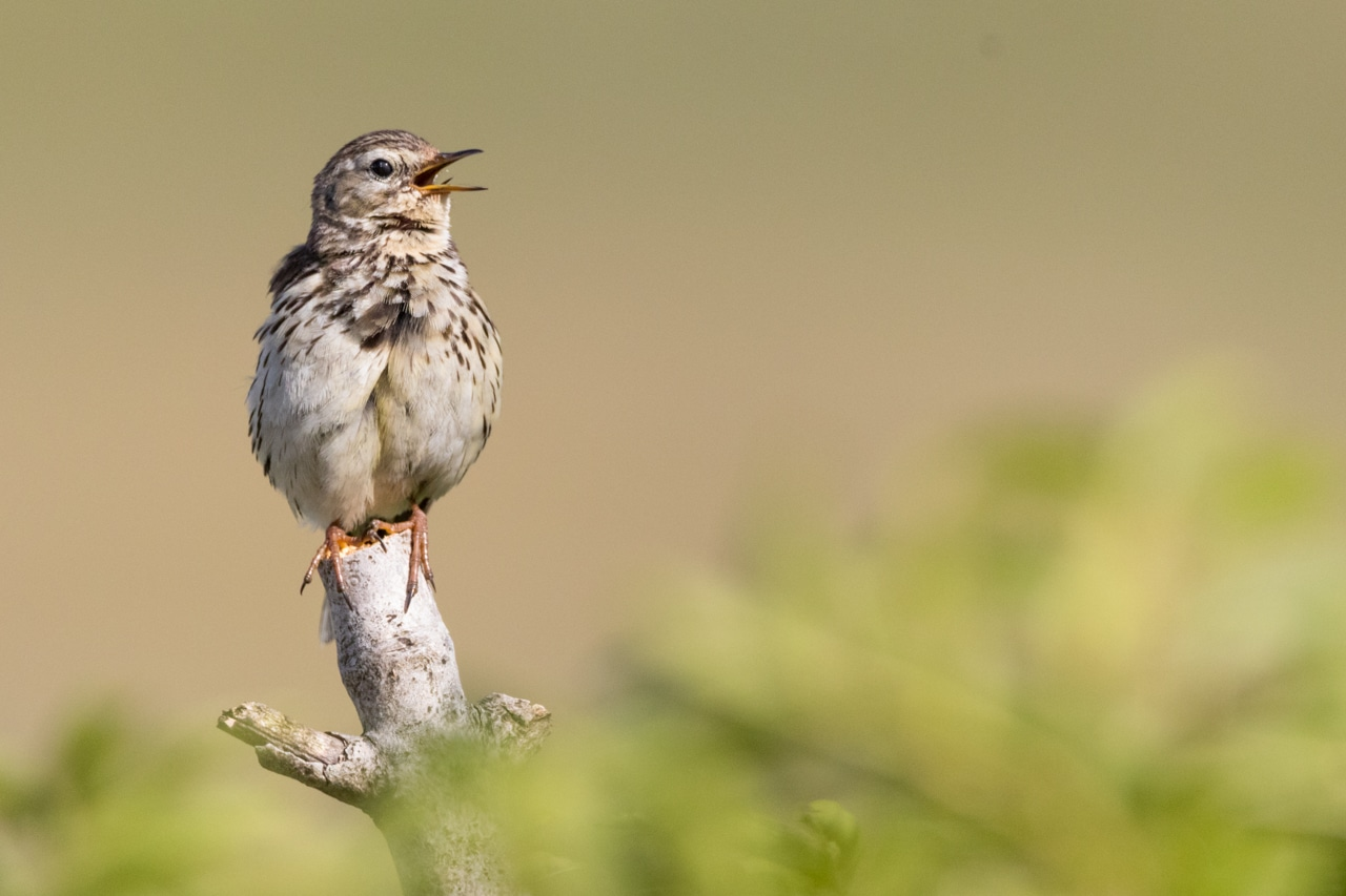 Vogelkonzert im Bergwald: Biosphärengebiet Schwarzwald bietet Exkursionen am Mittwoch, 15. und Sonntag, 26. Mai am Feldberg an