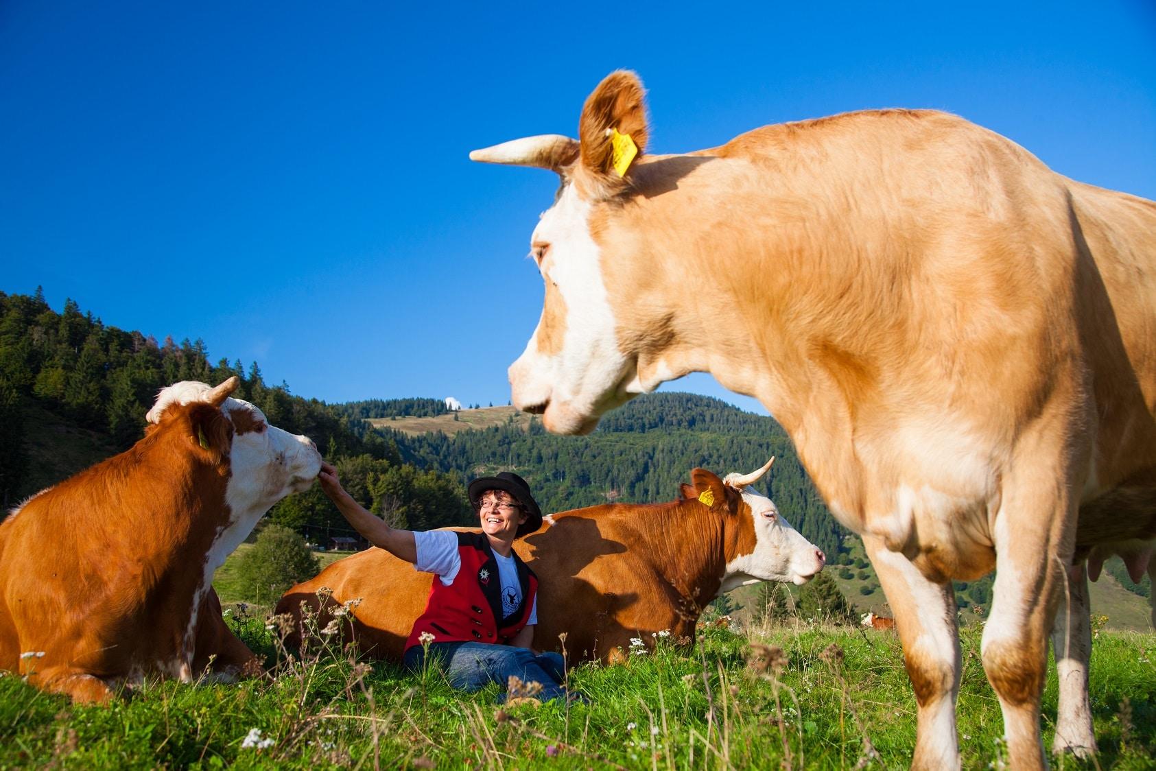 """""""Fleisch vom Hinterwälder Rind hat Potenzial"""": Ergebnisse einer Studie im Biosphärengebiet Schwarzwald vorgestellt"""
