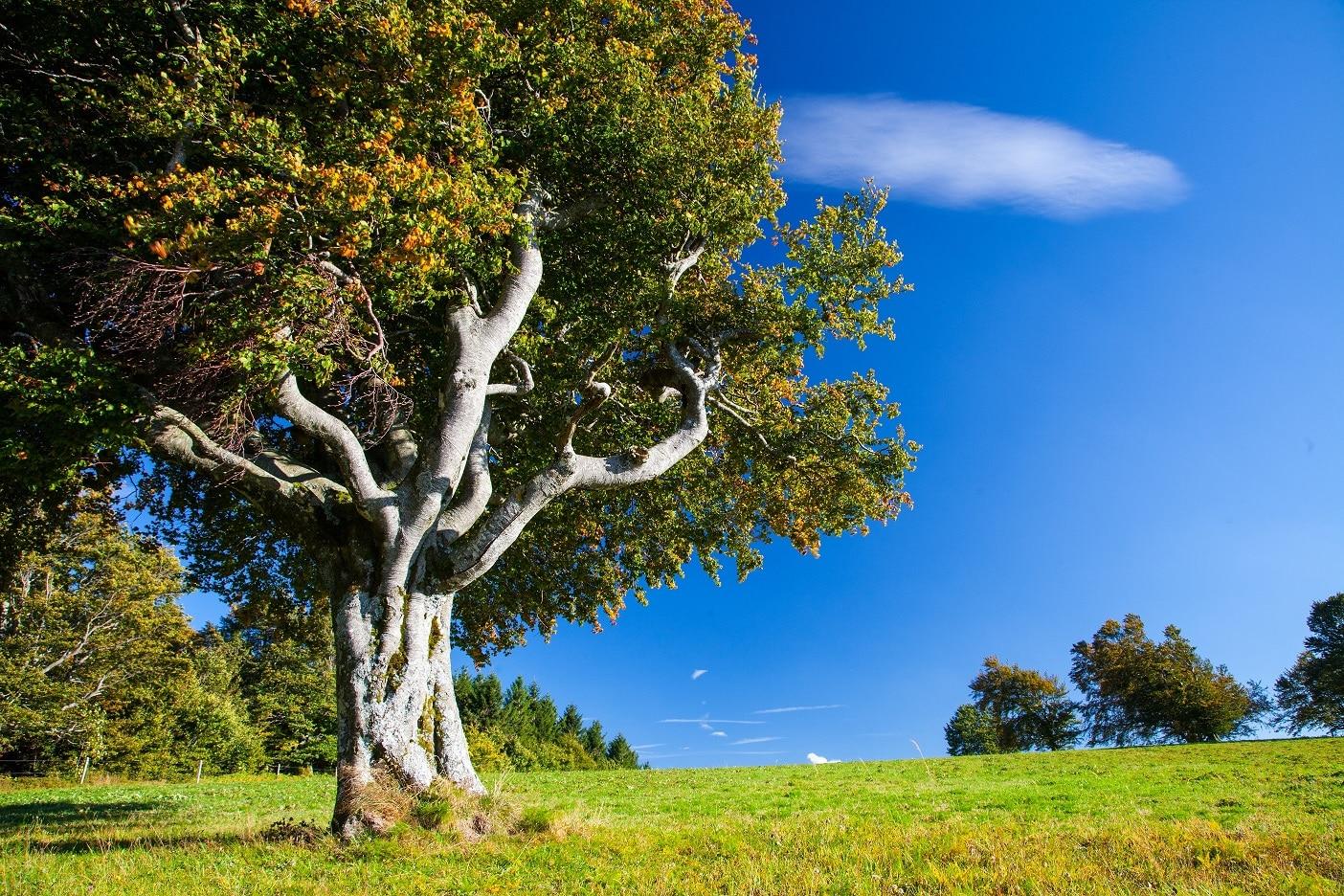 Hotspots der Biodiversität: Tagung über Weidbuchen und Weidfelder im Südschwarzwald
