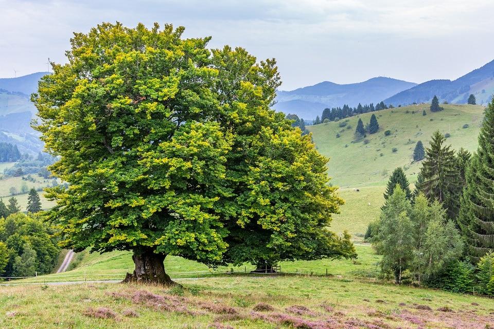 """Wertvolle Baumriesen im Fokus: Bei Tagung über Weidbuchen und Weidfelder diskutierten Naturschützer und Landwirte in Schönau über den Erhalt dieser """"Hotspots der Biodiversität"""""""