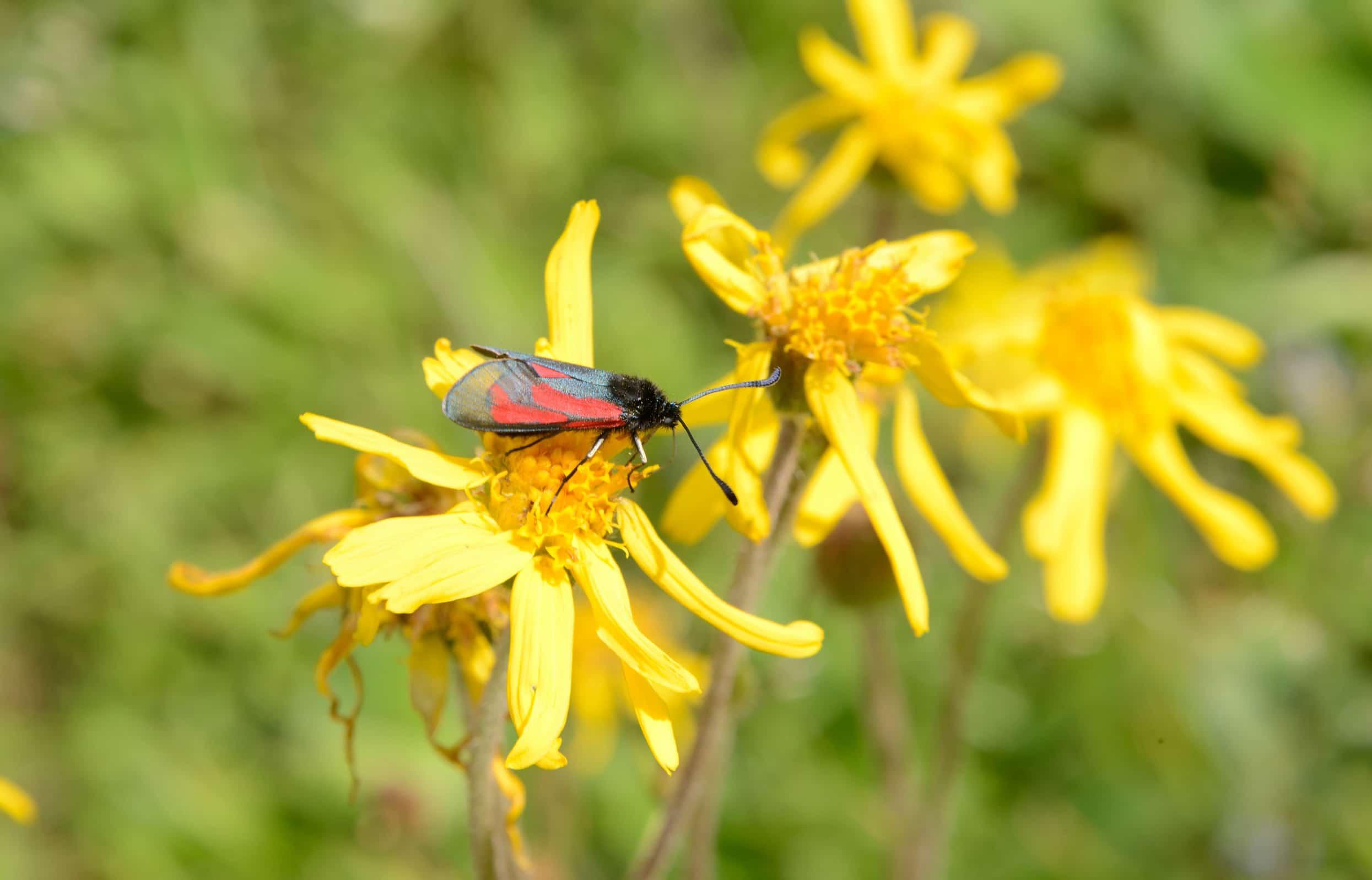Bundesamt für Naturschutz (BfN) fördert wegweisendes WWF-Projekt im Biosphärengebiet Schwarzwald zum Insektenschutz